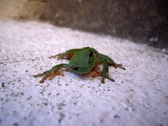 Spiderfrog (Bellwizard) Tags: verde green look eyes frog ojos rana mirada ulls verd granota hylameridionalis