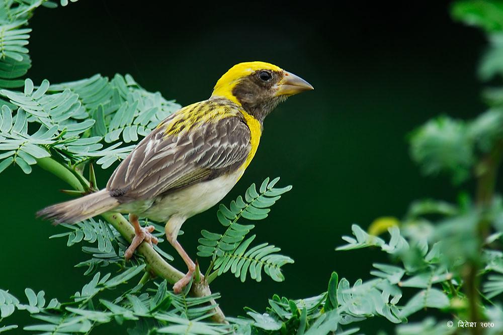 Baya Weaverbird