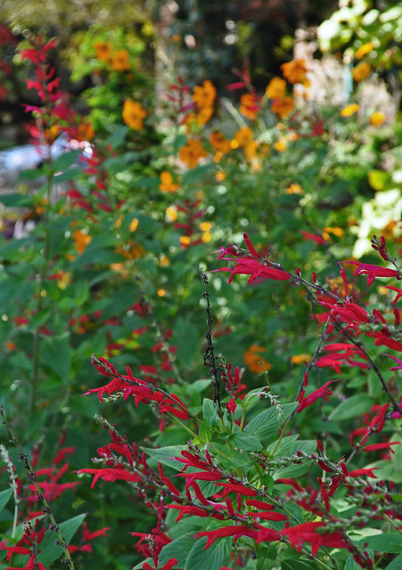 The Adams Garden - Salvia elegans (2)