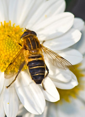 Striped Flower Fly, Eristalis cerealis,  (aeschylus18917) Tags: macro nature japan insect fly nikon g micro  saitama nikkor f28 vr syrphidae saitamaken diptera koma 105mm insecta  105mmf28 eristalis iruma flowerfly motokaji eristalinae  105mmf28gvrmicro saitamaprefecture irumashi  eristalini  d700 nikkor105mmf28gvrmicro  eristaliscerealis danielruyle aeschylus18917 danruyle druyle    hann hannshi  stripedflowerfly