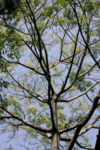Acrocarpus fraxinifolius 050122-5708