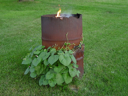 Burn barrel with morning glories.