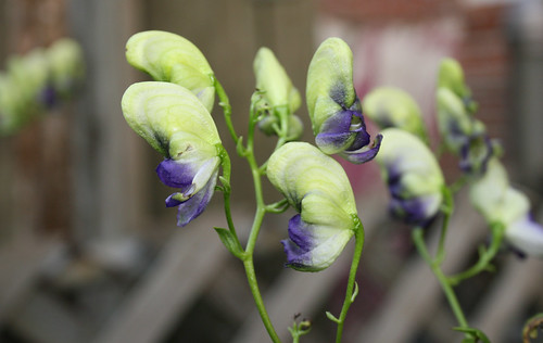 Monkshood Aconitum