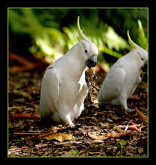 Two Cockatoos (fotofantasea) Tags: light fab nature birds fauna bravo photographer bokeh eating wildlife beak feathers australia wallart photograph queensland cockatoo airliebeach soe naturesfinest blueribbonwinner specnature abigfave anawesomeshot avianexcellence diamondclassphotographer auselite flickrwildlife naturewatcher hollykempe