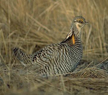 Prairie Hen