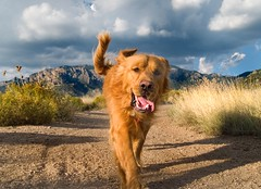 Too hot to run! (benrobertsabq) Tags: dog foothills hot newmexico goldenretriever running tired abq panting nm chaco sandiamountains wehadplentyofwaterforhim gundogsfundogspotd
