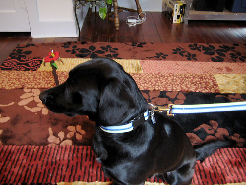 Ludo's new leash.