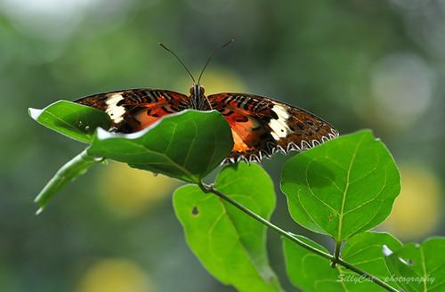 Malay Lacewing | 紅鋸蛺蝶