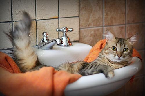 cute rescued tabby cat loves sink