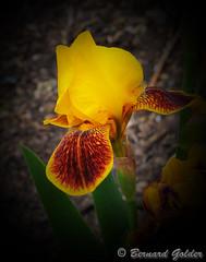 Botanic Gardens (Bernzfotos - Bernard Golder Photography) Tags: flowers newzealand plants sun flower nature leaves sunshine garden petals flora nikon nz wellington nikkor d300 nouvellezlande wellingtoncity masterphotos wellingtonnz nikond300 nikkorvr18105mmf35 hennysgardens bernzfotos
