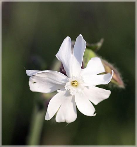 Wildblüte unbekannt