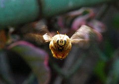 Big Brother is watching you (Malingering) Tags: insect buzz flying santamonica bee interestingness45 interestingness22 interestingness32 scarycensorshipbeeiscomingtogetyouallofyou
