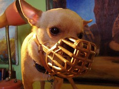 hannibal floyd (EllenJo) Tags: pets chihuahua dogs bostonterrier scary mask disguise bite nuzzle vicious ellenjoroberts ellenjdroberts ejdroberts ellenjocom