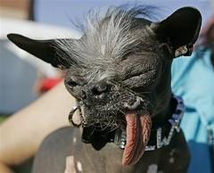 Worlds Ugliest Dog 2007