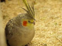 (34) (merec0) Tags: bird animal zoo olympus kobe parakeet cockatiel          e410 kobekachoen