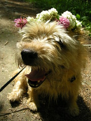 Panting summer hobo (Suviko) Tags: flowers summer dog flower floral tongue suomi finland fur nose wreath shade shaggy roni clover cairn 2007 kes koira keskisuomi ruskea terrieri keljonlahti decoratedanimal