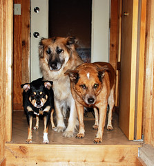 Three Clowns (soldierant) Tags: kirby terrier polly dozer cattledog germanshepherd mydogs tihuana theglasspack usefulsizecomparison