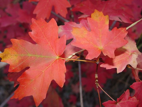 Maple Leaves by phoenixesrose - I VOTED (absentee!)!.