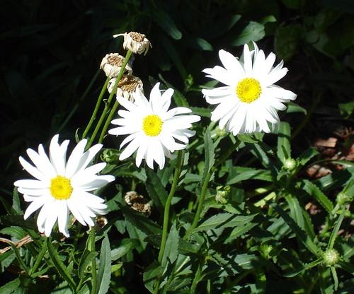 Three Little Daisies