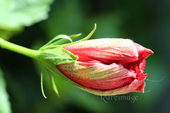 Details (Rareimage Photography) Tags: california usa flower color closeup canon searchthebest superb hibiscus marco poe soe excellence naturesfinest supershot anawesomeshot ultimateshot superbmasterpiece goldenphotographer diamondclassphotographer flickrdiamond ysplix excellentphotographerawards flickrelite theunforgetablepictures rareimagephotography