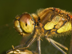 "Common Darter Dragonfly (Sympetrum s(69) • <a style=""font-size:0.8em;"" href=""http://www.flickr.com/photos/57024565@N00/1412657315/"" target=""_blank"">View on Flickr</a>"