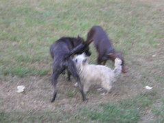GRR (kathystrm) Tags: playing yard jack outside outdoors kitty terrier jed boxer doberman cairn