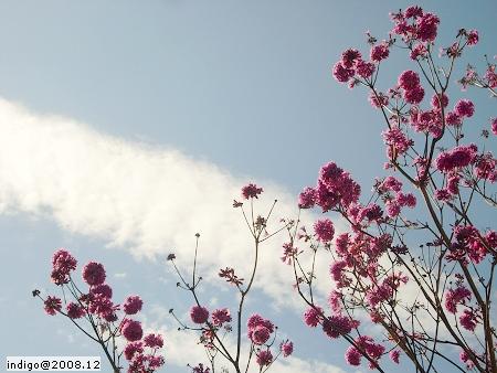 風鈴木 (by indigo@Taiwan)