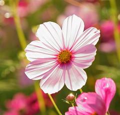 - Sea of flowers in Shinshou (prince470701) Tags: taiwan  taichungcity  seaofflowersinshinshou sonya850 sony135zaf18 bigcosmos