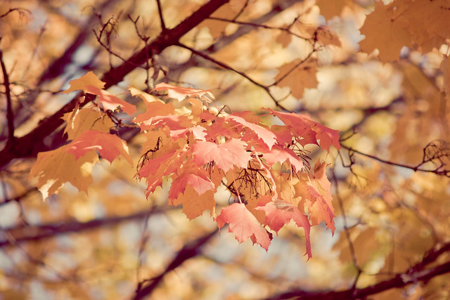 marple_leaves