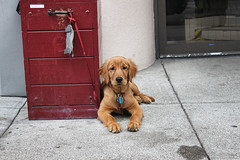 Puppy in Chinatown (NjCarGuy) Tags: sanfrancisco china red cute puppy asian golden town san francisco chinatown chest retriever leash twop