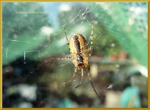 Garden Spider 6