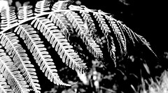 """Etudes de Cyatheales"" (YAZMDG (16,000 images)) Tags: fern leaf frond nsw yaz dicksonia rainbowregion cyatheales goonengerry nswrfp yazminamicheledegaye northernriversspecies yazmdg"