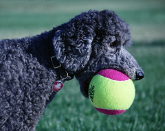 Naa Obbwem (The Pack) Tags: dog silver ball mercury poodle standard tennisball standardpoodle stuffedmouth spcrbirthday07 howtogetinthelastwordwithmercury thankscurlytoppoodle supersizedtennisball utata:project=ball thepack:a=1