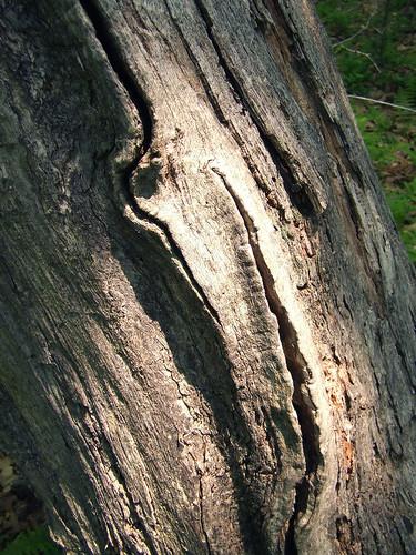 oak snag