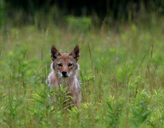 Coyote (Hard-Rain) Tags: coyote nature animal bike mammal illinois wildlife hike prey predator naperville explore21 springbrookprairie impressedbeauty
