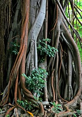 Banyan Tree Air Roots (zpowderhound) Tags: travel trees nature canon flora asia taiwan jungle tropical dslr tropics unature