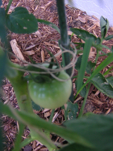 tomato 062107