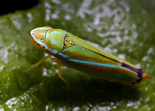 Colorful Leaf Hopper (Graphocephala versuta) by Thomas Shahan.