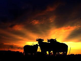 Koeien en zon..