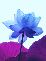 Blue lotus (tanakawho) Tags: blue plant flower nature rain lotus drop petal raindrop rainyseason naturesfinest tanakawho impressedbeauty superbmasterpiece diamondclassphotographer colourartaward