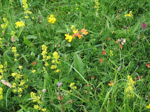 chalkhill_flowers2