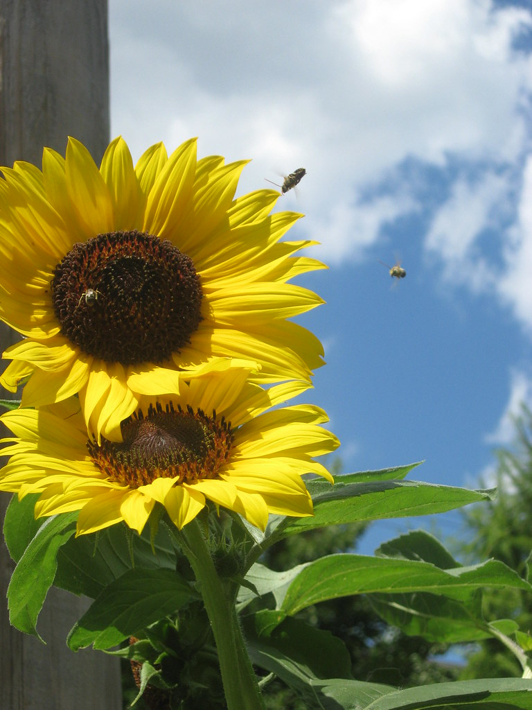 sunflowers with multiple bees