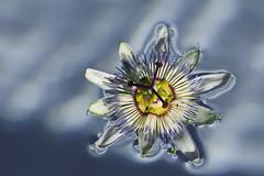 Flor de la pasión - by pericoterrades