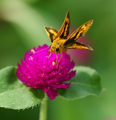 (nobuflickr) Tags: flower macro japan butterfly botanical kyoto the naturesfinest gareden themacrogroup