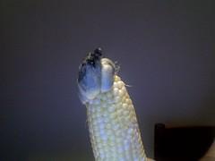 corn tumour4
