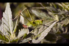 I know a certain katydid who has a very long night ahead of him. (Josh Sommers) Tags: plant macro bug insect leaf grasshopper katydid weekendamerica
