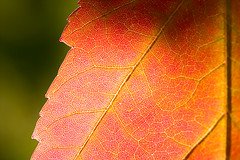 150,000 Views! (Leviathor) Tags: color macro fall mapleleaf naturesfinest interestingness172 specnature anawesomeshot