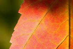 150,000 Views! (Leviathor) Tags: color macro fall mapleleaf naturesfinest interestingness172 specnature anawesomeshot