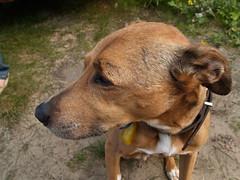 PA016163 (petergranheim) Tags: dog mydog tobystanmore tobygranheim