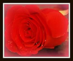 ...per una dea....:-)))) (naarnia70) Tags: flowers rose nikon gocce rossa goldstaraward